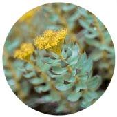 Rhodiola Rosea (Golden Root)